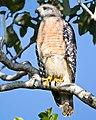 Florida everglades hawks (17701195469).jpg