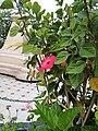 Flors dels jardins de la Plazuela Elías Aguirre de Chiclayo03.jpg