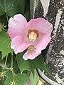 Flower of Hibiscus syriacus 20190809.jpg