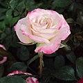 Flowers - Uncategorised Garden plants 242.JPG