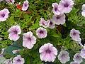 Flowers in my backyard 17.jpg