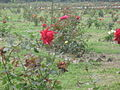 Flowers of Bangladesh35.jpg