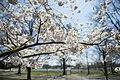 Flowers on trees at Arlington National Cemetery.jpg