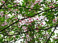Flowery-tree-spring - West Virginia - ForestWander.jpg
