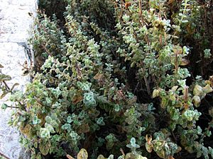 Ezov - Za'atar shrub in Jerusalem