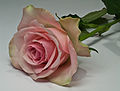 Focus stacked rose.jpg