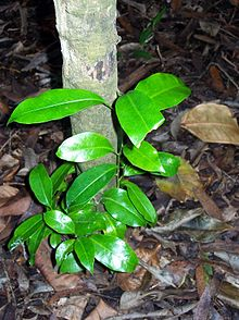 Fontainea oraria new growth.jpg