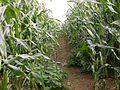 Footpath through Maize - geograph.org.uk - 236645.jpg