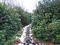 Footpath through the Rhododendrons ^2 - geograph.org.uk - 737150.jpg