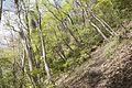 Forest in Mt.Myo 02.jpg