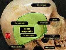 Fossa temporalis