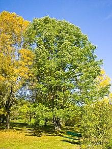 Fraxinus americana 002.jpg