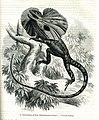 Frill-necked lizard (8277312678).jpg