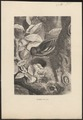 Fringilla coelebs - 1700-1880 - Print - Iconographia Zoologica - Special Collections University of Amsterdam - UBA01 IZ16000005.tif