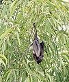 Fruit bat (31271657924).jpg