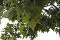 Fruto del platanero (no comestible) - panoramio.jpg