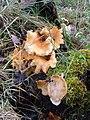 Fungi - geograph.org.uk - 306427.jpg