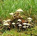 Fungus, Drumkeeragh forest (4) - geograph.org.uk - 905532.jpg