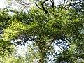 Fuscospora truncata (Colenso) Heenan and Smissen (AM AK236466).jpg