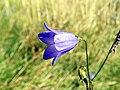 GOC Bengeo to Woodhall Park 153 Harebell (Campanula rotundifolia) (8108105917).jpg
