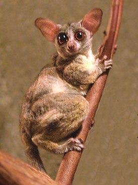 http://upload.wikimedia.org/wikipedia/commons/thumb/d/d9/Galago_senegalensis.jpg/275px-Galago_senegalensis.jpg