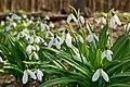 Galanthus Plicatus.jpg