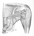 Gallus gallus thigh 1881.jpg