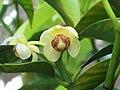 Garcinia macrophylla.jpg