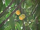 Garcinia xanthochymus (1095535392).jpg