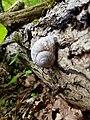 Gastropoda - Schnecke - Weinbergschnecke - Snail - Sascha Grosser.jpg