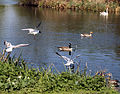 Geese, gulls, and swan on Hooks Marsh Lake at Fishers Green, Lee Valley, Waltham Abbey, Essex, England.jpg