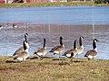 Geese - panoramio (3).jpg