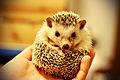 Gendo the Hedgehog (6111053153).jpg