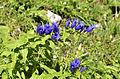 Gentiana asclepiadea in Totes Gebirge.jpg