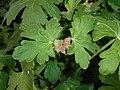 Geranium macrorrhizum 2016-04-28 9422.jpg