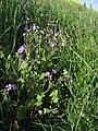 Geranium pyrenaicum lystrup 2009-05-20 1.jpg