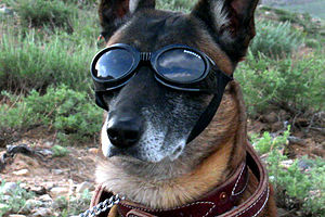 Doggles - Image: German Sheppard w doggles