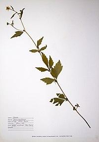 Geum canadense BW-1988-0720-0628.jpg