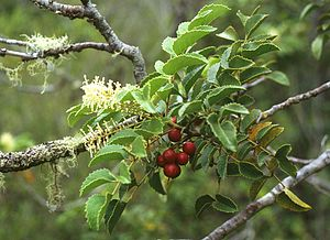 Gevuina - Chilean hazel with flowers and fruits