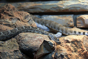 Description de l'image Gfp-santa-cataline-island-rattlesnake.jpg.