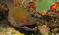 Giant Moray (Gymnothorax javanicus) (8495806192).jpg