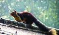 Giant Squirrel at Simlipal National Park (Odisha).jpg