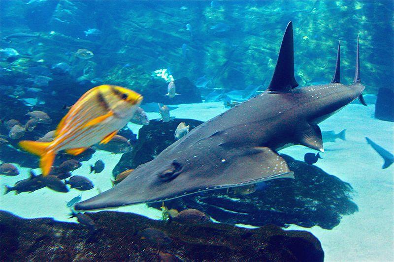 Giant guitarfish georgia
