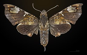 Giganteopalpus mirabilis MHNT CUT 2010 0 27 Bukit Larut Malaysia dorsal.jpg