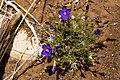 Giliastrum rigidulum - Flickr - aspidoscelis.jpg