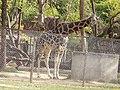 Giraffe33.jpg