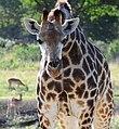 Giraffe (2874467899).jpg