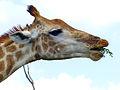 Giraffe (Giraffa camelopardalis) (11530037065).jpg