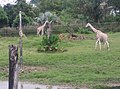 Giraffe in Zoo Negara Malaysia (12).jpg