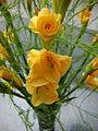 Gladiolus × hortulanus (3).JPG